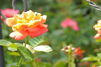 焦げたバラ
